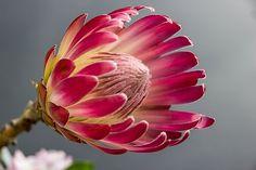 Free Image on Pixabay - Protea, Bloom, Flower, Color, Red Protea Bouquet, Protea Flower, Pink Rose Flower, Flower Art, Pink Flowers, Protea Art, Fleur Protea, Colorful Flowers, Beautiful Flowers