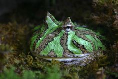 Cute Frogs   Horned ornate frog   Amphibian Rescue and Conservation Project