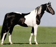 Barockpinto stallion, Lanos. Sporty type, not very Baroque. He doesn't appear to have inherited much Friesian bone or feathering. Both types can usually be registered if parentage is confirmed and performance standards are met.