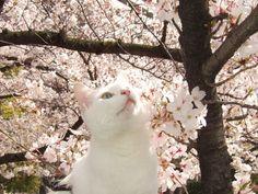 美しさに感動! 桜咲く猫さん達の画像集 - 〓 ねこメモ 〓