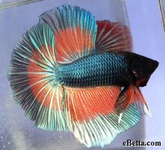Betta Fish Series – Different Types of Betta Fish Betta Fish Types, Betta Fish Tank, Beta Fish, Fish Tanks, Betta Aquarium, Underwater Images, Beautiful Fish, Pretty Fish, Siamese Fighting Fish