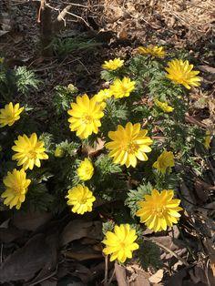 フクジュソウ。春の息吹を感じます。茶色い庭に黄色が鮮やか。2018.3.4