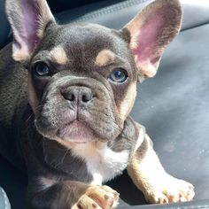 French Bulldog Puppies, French Bulldogs, Cute Puppies, Cute Dogs, Dog Things, Dream Baby, Dog Breeds, Affirmations, Avengers
