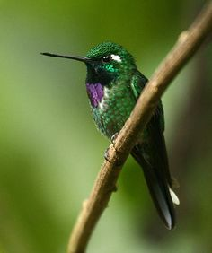 Purple-Bibbed Whitetip - Urosticte benjamini - Native to Colombia, Ecuador and Peru, this species of hummingbird is of the family Trochilidae