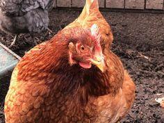 Aujourd'hui je vous présente mes 4 poules. Elles jouent un rôle important dans la réduction des déchets alimentaires de ma famille ! Rooster, Important, Hui, Potager Bio, Biologique, Animals, Food Waste, Fresh Egg, Composters