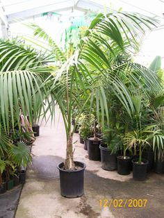 Howea forsteriana (Kentia)