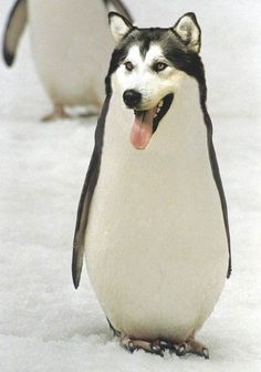 Im Just Going to Leave these Photoshopped Animal Hybrids Here Photos) animals silly animals animal mashups animal printables majestic animals animals and pets funny hilarious animal Funny Animal Photos, Funny Animals, Funny Pictures, Cute Animals, Funny Pics, Funny Memes, Penguin Pictures, Funny Quotes, Hilarious Pictures