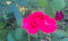 The good smelling rose