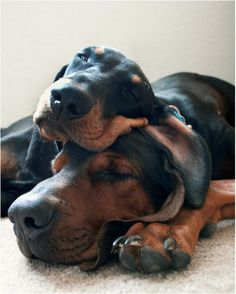 There's a time of day when the truly terrifying potential of the Doberman is awakened. Obviously, that time is nap time!