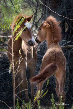 Salt River Wild Horses by Robert Rinsem. Little ones playing.