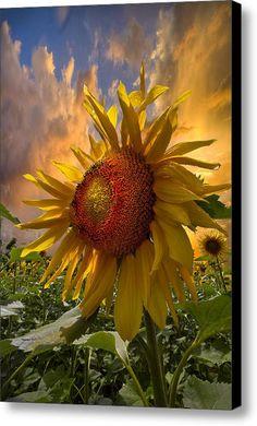 Sunflower Dawn Canvas Print / Canvas Art By Debra And Dave Vanderlaan