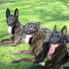 Dutch Shepherds