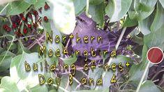 Northern Mockingbird building their nest