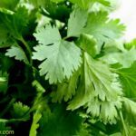 Cilantro can Remove 80% of Heavy Metals from the Body within 42 Days Here is What You Need to Do