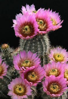 Cactus and Succulents 736 Cacti And Succulents, Planting Succulents, Planting Flowers, Cactus Planta, Cactus Y Suculentas, Amazing Flowers, Beautiful Flowers, Cactus Pictures, Unusual Plants