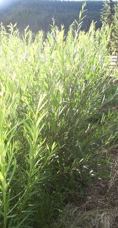 10 Good Reasons to Grow basket Willows on your Homestead 13 Apr posted by Joybilee Farm - Gardening Go Basket Willow, Willow Tree, Easy Plants To Grow, Growing Plants, Fast Growing Trees, Homestead Survival, Plant Species, Lawn And Garden, Willow Garden