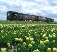 Tulpenexcursie | museumstoomtram.nl #tulpen #stoomtram #locomotief #stoomtramlocomotief