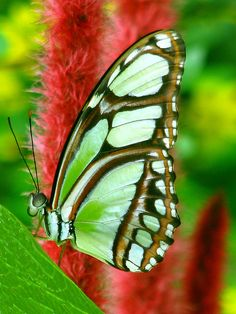 ~~Green Longwing Butterfly on Plumes by melepix~~