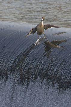 Un despistado pato haciendo surf