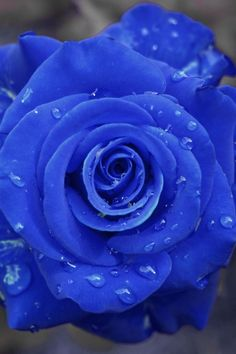 Blue Rose with dew. [If you see a rose this color online or elsewhere, it has probably been digitally altered, or altered artificially in some way.]
