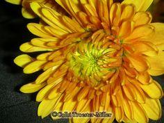 Yellow Chrysanthemum #theflowershopfairoaks