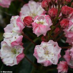 Kalmia latifolia Madeline - Laurier des montagnes double, rose pâle