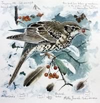 Mistle Thrush by Steve Cale. WLT Christmas cards, £2.75 for a pack of 5.