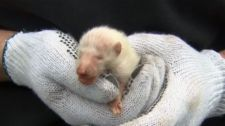 Wildlife removal experts were shocked to discover a rare albino raccoon pup in Toronto on Tuesday, April 17, 2012.