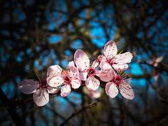 Free Image on Pixabay - Almond Blossom, Steinobstgewaechs Free Pictures, Free Photos, Free Images, Photos Hd, Stock Photos, Cherry Apple, Almond Blossom, Time To Celebrate, Blossom Flower