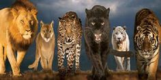 Save big cats before it's too late