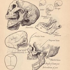Vintage Anatomy Print, Antique Artistic Human Anatomy Chart, Book Illustrations, Prints to Fra Anatomy Study, Anatomy Art, Anatomy Reference, Skull Anatomy, Skeleton Anatomy, Skull Illustration, Medical Illustration, Antique Illustration, Anatomy Sketches
