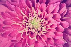 Dahlia pink flower close up by Photocreo Michal Bednarek on Creative Market