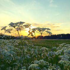 Vuohenputki tarjoaa hienon valkoisen pitsihunnun. Nyt on bileet #luonto #juhlii #vuohenputki #pelto #auringonlasku #järvenpää #ristinummi #futuremarja
