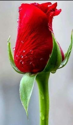 Types of Houseplant Bugs and Methods to Check Their Infestation Red Rose Beautiful Flower Drawings, Beautiful Rose Flowers, Pretty Roses, Love Rose, All Flowers, Flowers Nature, Amazing Flowers, Beautiful Beach, Rose Images