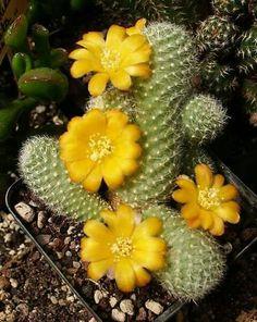 100 Mixed cactus flower flores Succulent plantas lotus Lithops Pseudotruncatella plante bonsai plant for home garden,easy to gro Succulent Seeds, Cacti And Succulents, Planting Succulents, Planting Flowers, Succulent Care, Bonsai Plante, Cactus Plante, Cactus Cactus, Flower Seeds