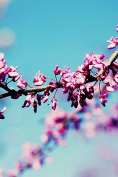flowering branches ~ pink & blue