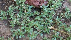 Purslane-It's Unrecognized Health-Boosting Wonder Plant!