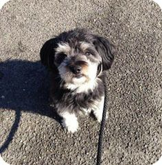 Port Chester, NY - Tibetan Terrier Mix. Meet Meemo a Dog for Adoption.