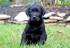 Sasha | Labrador Retriever - Black Puppy For Sale | Keystone Puppies Black Puppy, Black Lab Puppies, Newborn Puppies, New Puppy, Puppies For Sale, Baby Animals, Labrador Retriever, Dogs, Labrador Retrievers