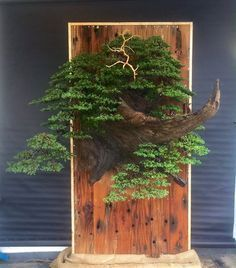noel-1 #bonsai #bonsaitrees