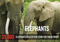 How Many Elephants Are Killed for Ivory