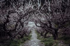 """Plum blossom - Plum tunnel. Photos of plum reminiscent of Japanese painting. Season of Japan that will change in the spring from winter. Beautiful Japanese four seasons. My world like a fairy tale. I'm on  <a href=""""https://www.facebook.com/hide.suzuki"""">Facebook</a>"""