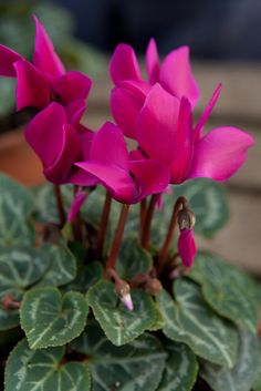 House plants: cyclamens can be happily kept indoors if kept in a cool, shady area and will benefit from regular watering and misting. Photo by Marsha Arnold. Find out more here http://www.gardenersworld.com/plants/search/name/cyclamen/