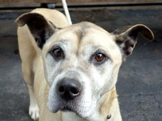 SUPER URGENT 3/16/14  Manhattan Center    DIAMOND - A0994080    FEMALE, TAN / WHITE, GERM SHEPHERD / PIT BULL, 9 yrs  STRAY - ONHOLDHERE, HOLD FOR ARRESTED  Reason STRAY   Intake condition GERIATRIC Intake Date 03/15/2014, From NY 10002, DueOut Date 03/18/2014,  https://www.facebook.com/photo.php?fbid=774653442547537&set=a.617942388218644.1073741870.152876678058553&type=3&permPage=1