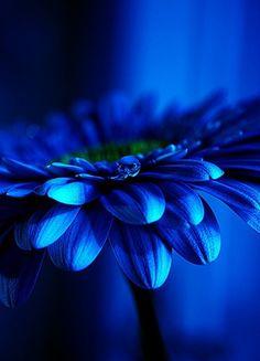 Gerbera, my favorite flower. Cobalt Blue, Blue Green, Cerulean, Periwinkle, Aqua, Purple, Azul Indigo, Mood Indigo, Indigo Blue