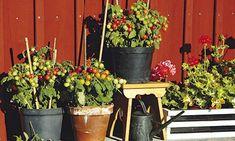 Odla egna tomater