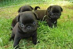Baby pugs, look at the purrrr fect little Angel's Oh so sweet...many pug hugs and kisses XX XX