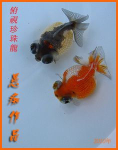 dragaon pearl goldfish