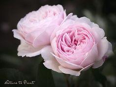 Rosenbild nach Wunsch Rosenblüten Geoff Hamilton im Rosengarten. Leinwandbild oder Kunstdruck.