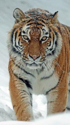 Bengalischer Tiger Mauspad aus der Edition Colibri Königstiger